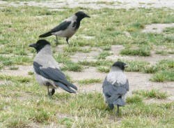 Picture of crows at the campsite