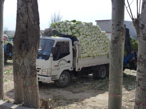 Chinese leaves are bigger in China than in the UK