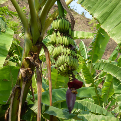 Each banana tree has a single spike protruding from it with a dark red cone at the end.  A 'petal' of sorts peels back and eventually drops off to reveal a row of tiny yellow cylinders, which grow up to become bananas.