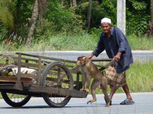 As we travelled south we saw monkeys being kept as pets/helpers.  Some were tethered in the back of speeding pick-up trucks (and apparently enjoying the ride), others travelling by motorbike, and some helping their masters with more mundane tasks like pushing this car.