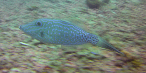 A scribbled filefish.