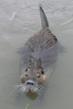 An inquisitive coypu