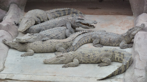 A bask of crocodiles.