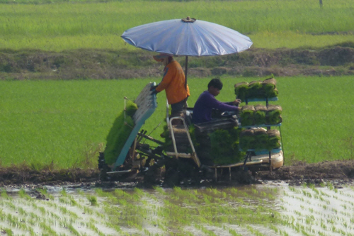 Rolls of rice turf are transferred by hand to the sloping delivery system at the rear, and  plugs are automatically plucked from the bottom of the turf and planted.
