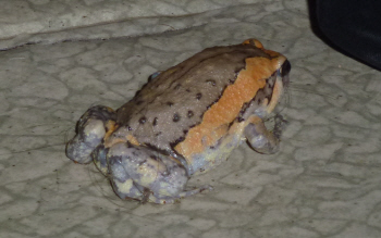 Our 'pet' toad.  We can reliably inform you that toad turds are larger and softer than gecko ones.